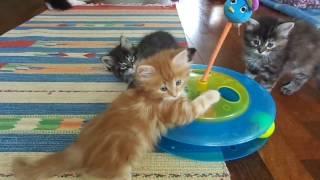 Сибирские котята  litter Е(1,5 мес.)