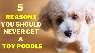 Why you Shouldn't get a Toy Poodle
