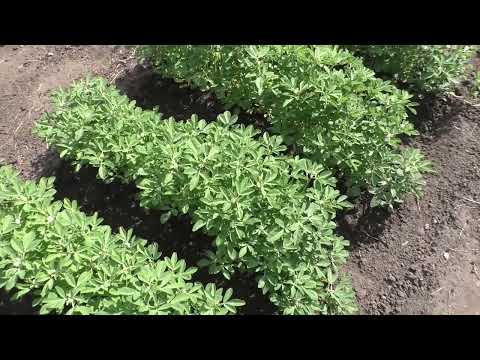 Как я выращиваю пажитник