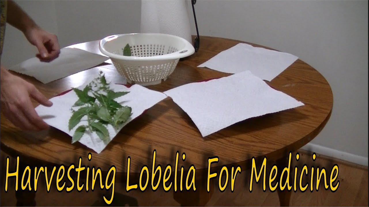 How To Harvest Lobelia Youtube