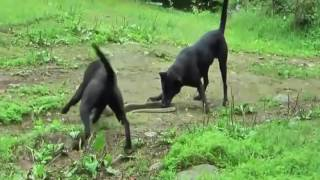 犬VSパイソン蛇、ヘビ - 最も素晴らしい動物の戦い。 TAGS: animals att...
