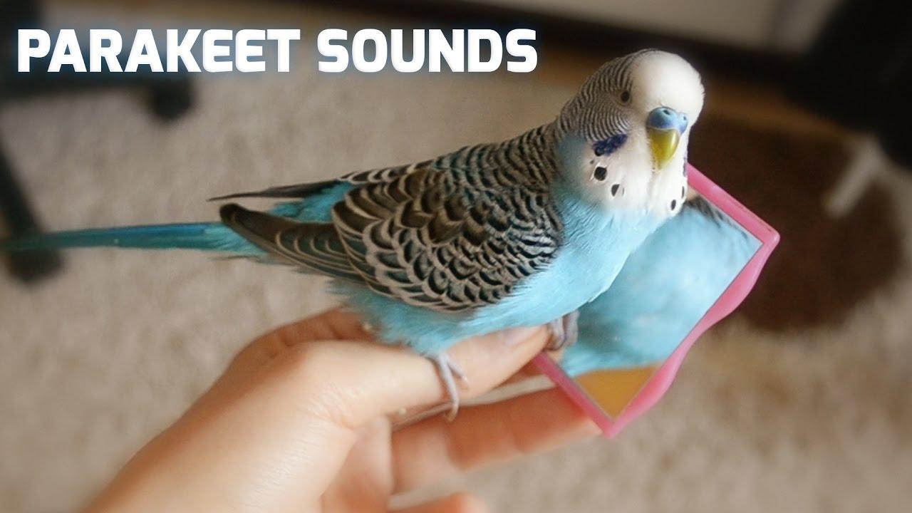Parakeet sounds - parakeet mirror [cookie]
