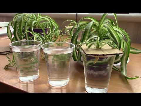 Как размножить хлорофитум детками