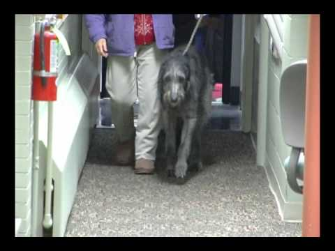 Westminster breed: Scottish Deerhound (with puppy)