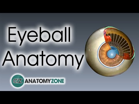 Eyeball Anatomy