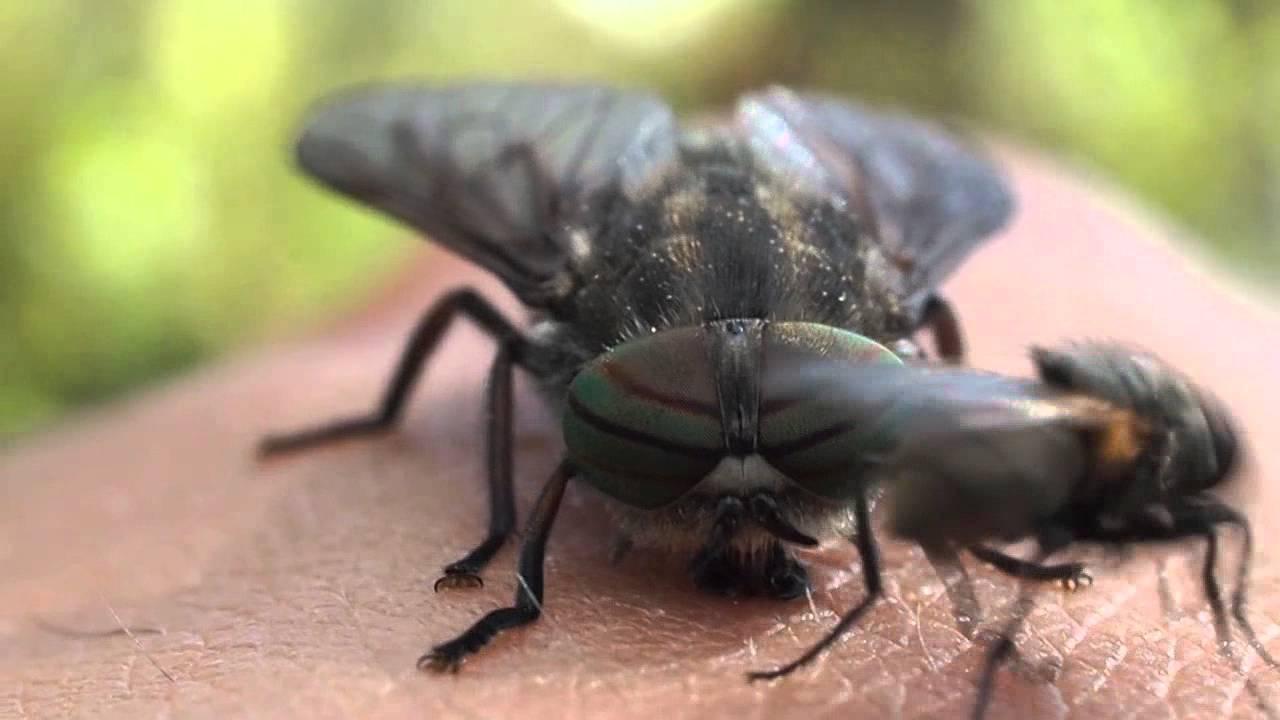Giant Horse Fly Bite