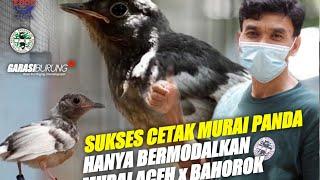 Download lagu KISAH SUKSES BUDIDAYA MURAI BATU WARNA PANDA  | LINGE BF BANJARNEGARA