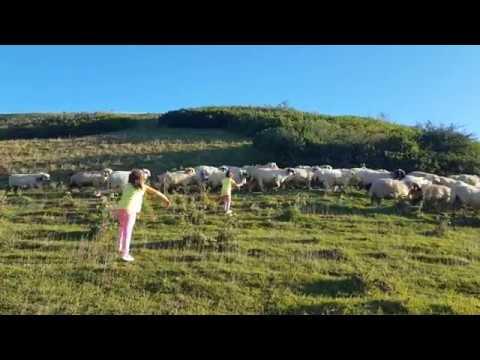 elis köyde koyunları yakalamaya çalışıyor