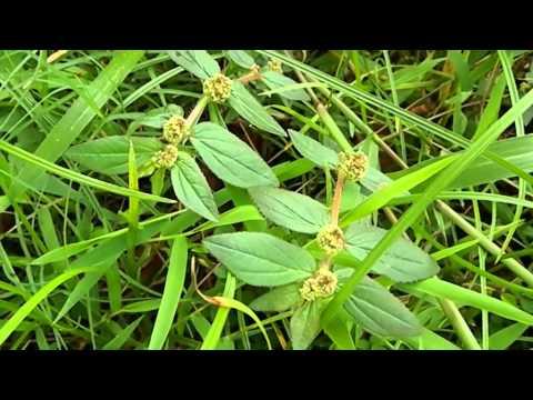 Tawa Tawa Herbal Plant
