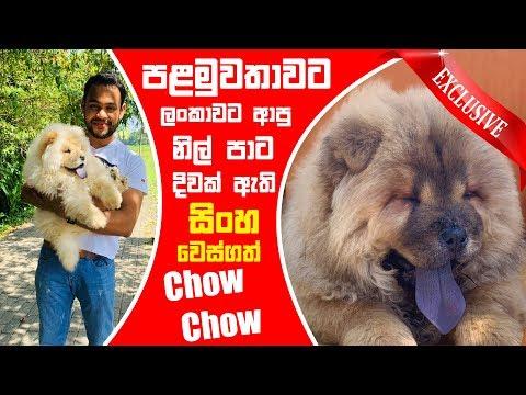 පළමුවතාවට ලංකාවට ආපු නිල් පාට දිවක් ඇති සිංහ වෙස්ගත් Chow Chow   Pet Talk