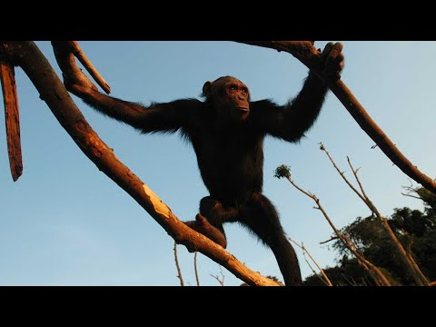 A day in the life at Tchimpounga Sanctuary - Narrated by Jane Goodall