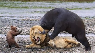 BIG MISTAKE LION STEAL BABY BEAR - Mother Bear Save Her Baby From L...