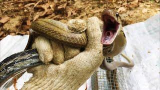 Rắn Hổ Xộc ( Ngựa )  Biết Cười Miền Nam Thất Thu Miền Bắc Thế Nào   Snake hunter