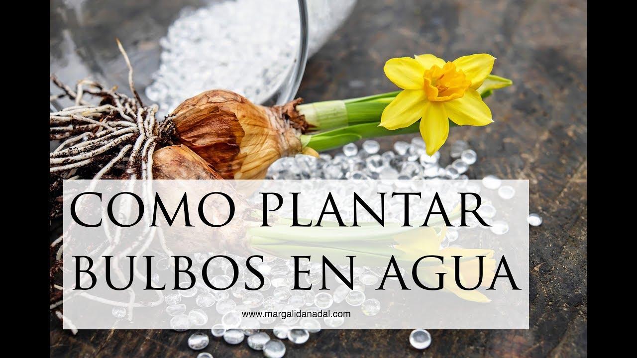 Cmo plantar bulbos en agua Narcisos en casa YouTube