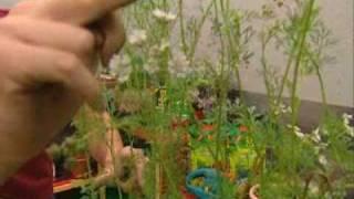 Bricomanía Jardinería: Cultivo del cilantro en casa