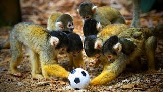Funny Monkeys 🐒😂 Cute and Funny Monkeys Playing (Full) [Funny Pets]