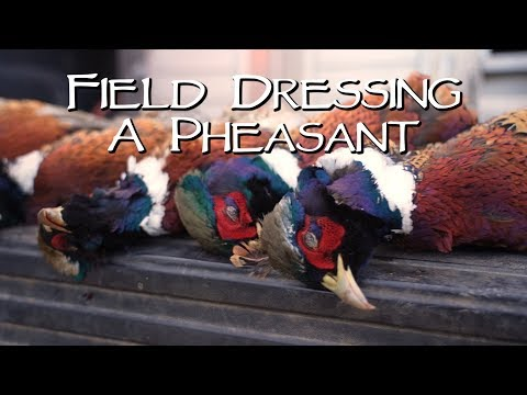 Field Dressing A Pheasant For Legal Transport - South Dakota