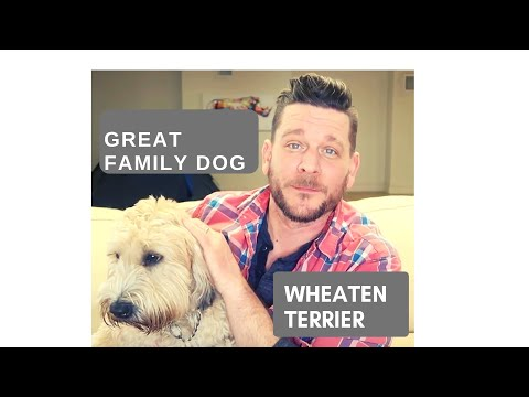 WHAT IS THE BEST FAMILY DOG? Wheaten Terrier Review and featuring viewers dogs!