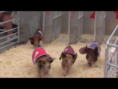 Swifty Swine Pig Races San Diego County Fair 6-1-2019