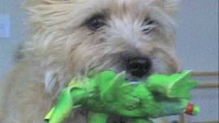 The Super Magnificent Cairn Terrier Clippy Dog Pup Show