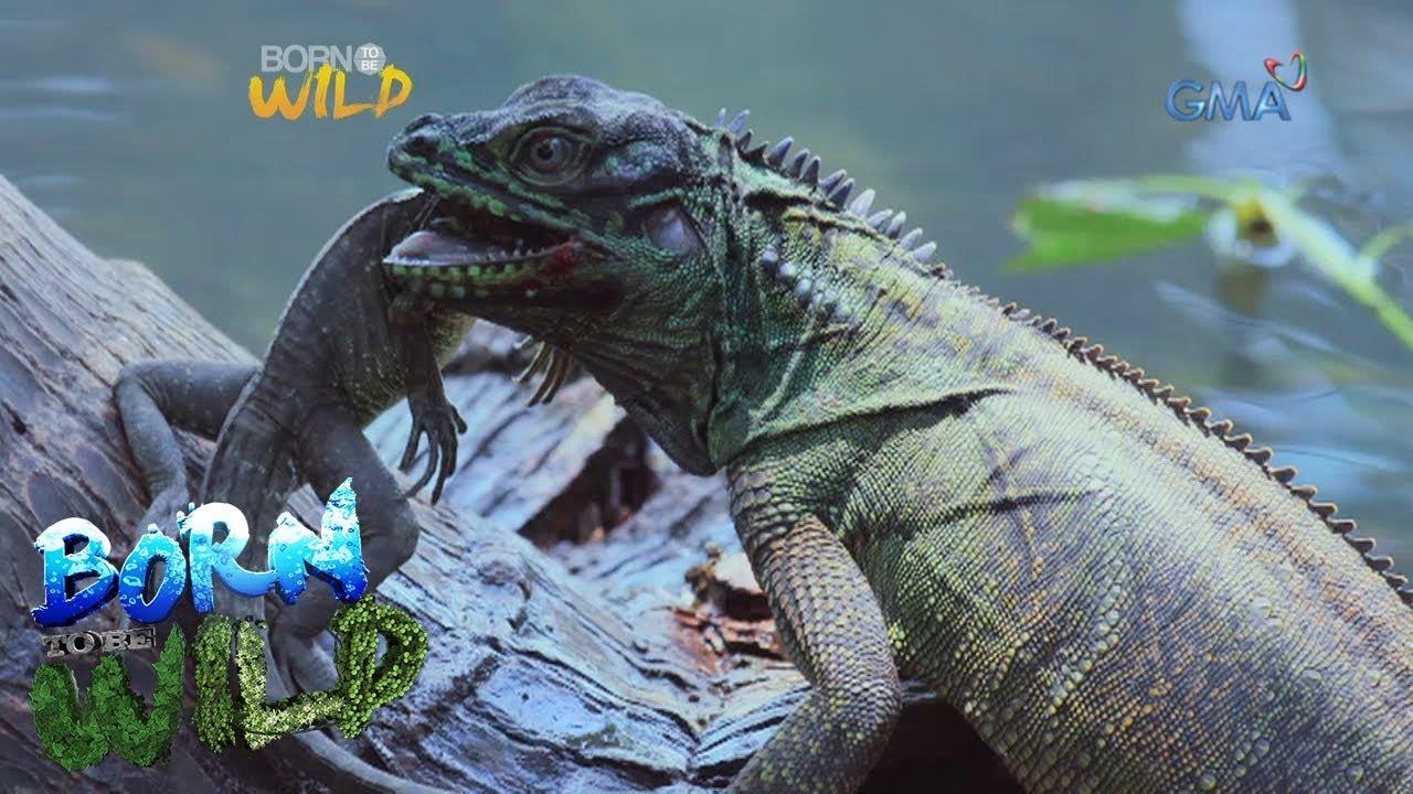 Download Born to be Wild: Philippine sailfin lizards in Misamis Oriental