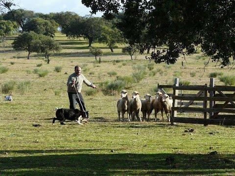 Live Sheepdog Trials - 7 Nov 15 - (GMT +00:00 - Lisbon Time)