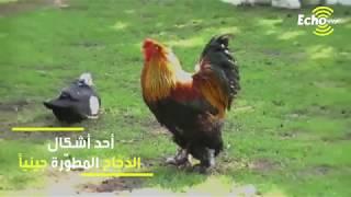 دجاج البراهما ...الدجاج العملاق