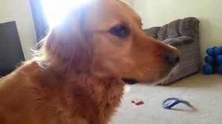 Golden Retriever Vs. Border Collie: Confusion, Panic.. Play!