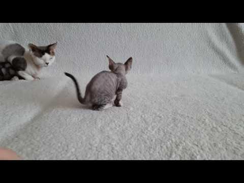 Abigail of Tenderling. Kitten breed devon rex. Available for love!