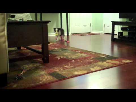 8 Week Old Australian Shepherd Puppy Plays Fetch