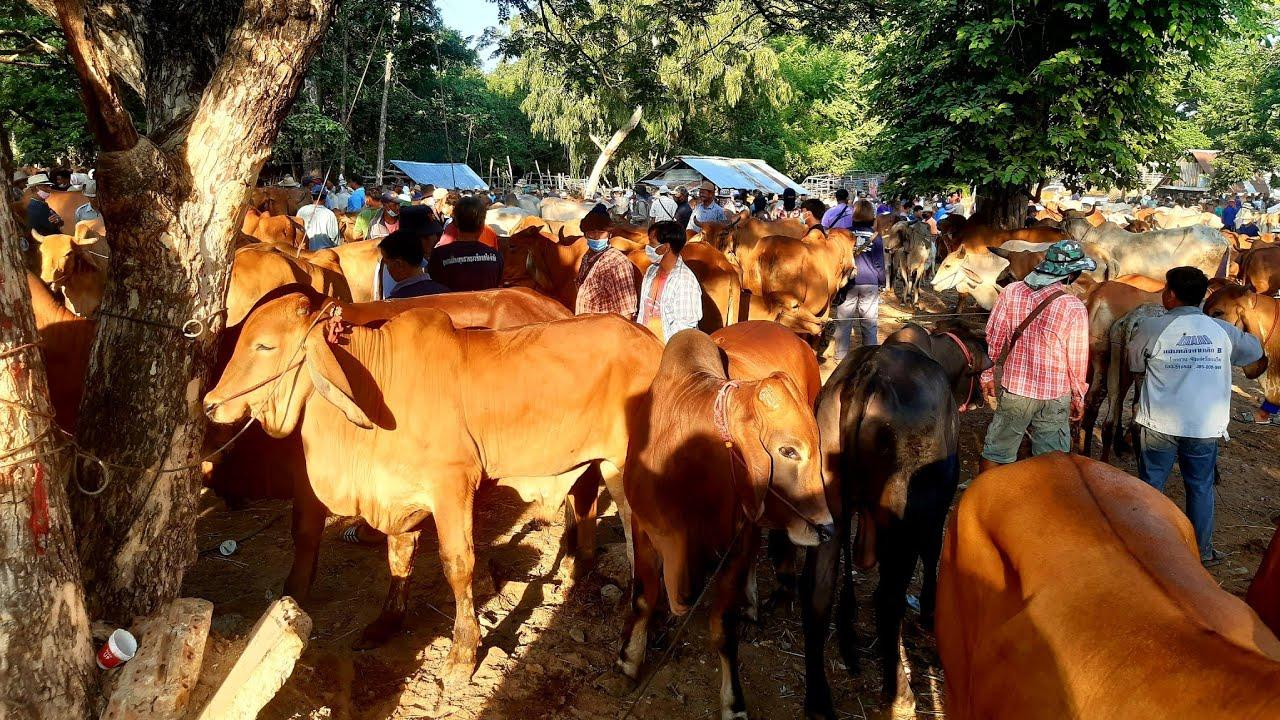 ราคาวัววันนี้(4ก.ค.63)ตลาดวัวร้อยเอ็ด:ตลาดหนองกุง:เช็คราคาก่อนตัดสินใจซื้อนะครับ