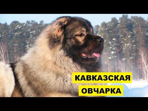 Кавказская овчарка плюсы и минусы породы   Собаководство   Собака Кавказская овчарка