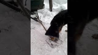 Отучаем собаку бегать за своим хвостом
