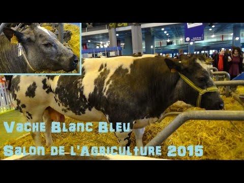 Vache blanc bleu belge bos taurus linnaeus 1758 for Vache salon de l agriculture
