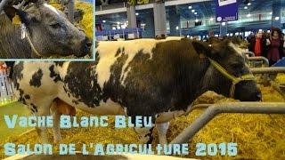 Vache Blanc bleu belge - Bos taurus - Linnaeus, 1758 - Salon de l'Agriculture 2015 - 03/2015