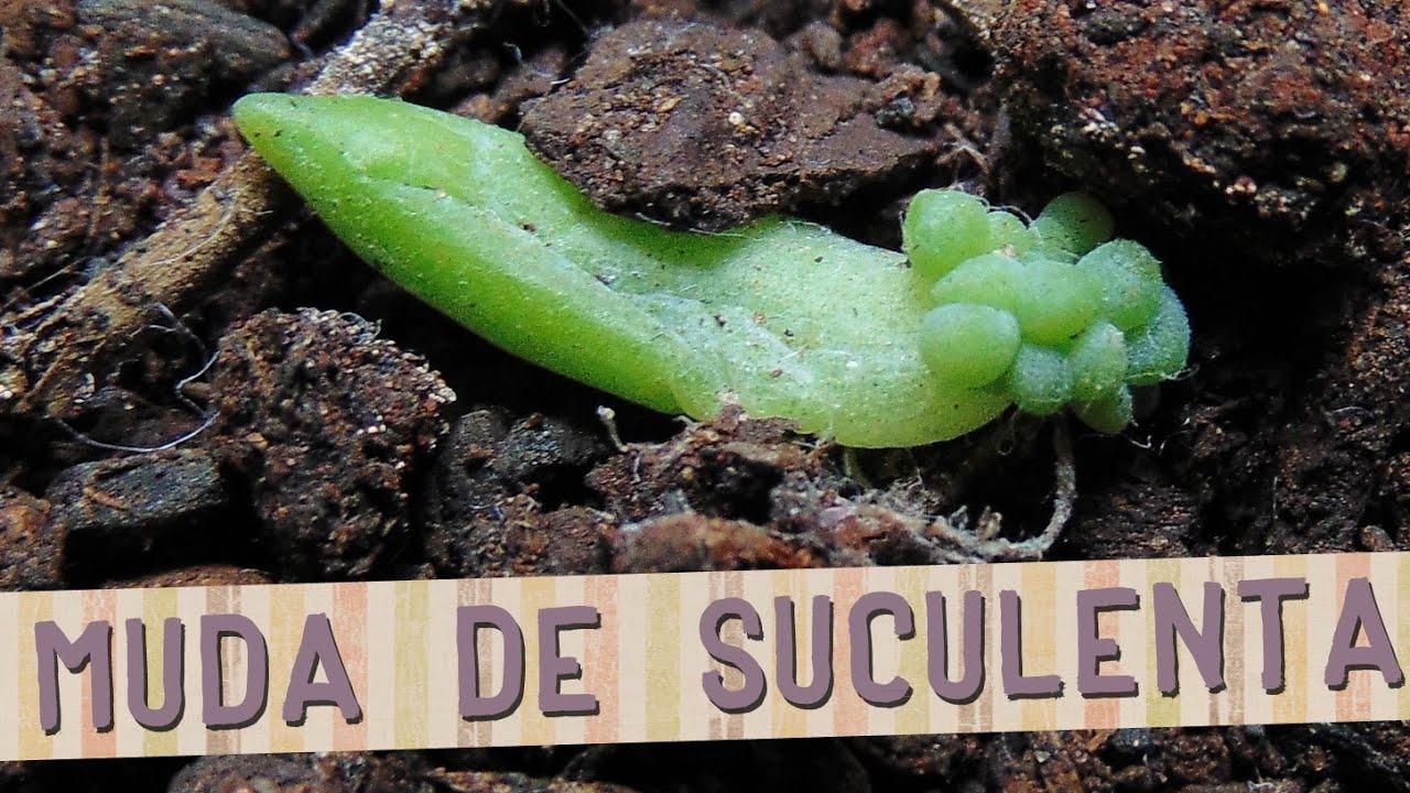 Diy como fazer mudas de suculentas youtube for Como criar caracoles de jardin
