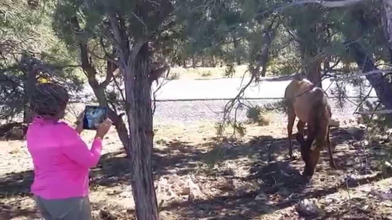 Жизнь в США. Дикие олени на парковке. Гранд каньон