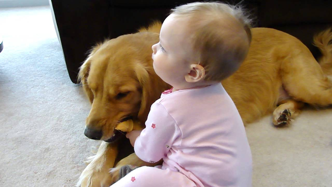 New Year Hd Wallpaper 2014 2 Year Old 85 Lb Dog Golden Retriever Vs 10 Month Old