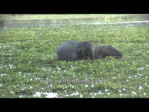 Elephant at Kaziranga National Park, Assam
