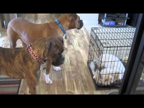 Bella the Boxer Breaks Out Cooper