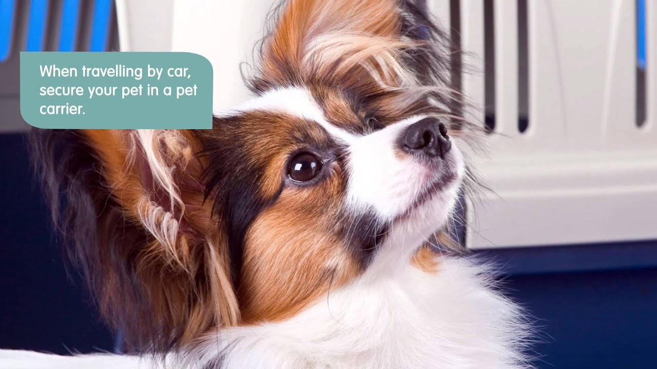 Pet Travel Tips and Guidelines   Pets Plus Us