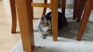 Почему у корейских котов короткие хвосты