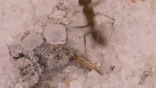 Antlion larva digging a pit