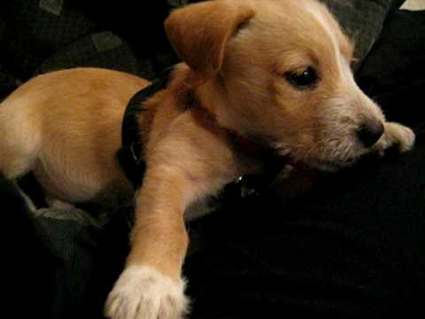 jack russell terrier white lab mix - photo #7