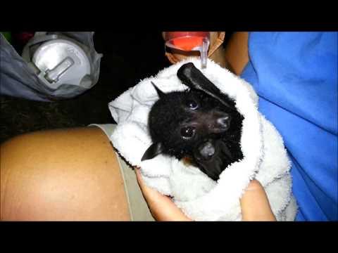 mega bat (flying-fox) Brisbane dehydration rescue - 04012014-2of6