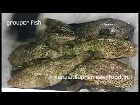 How To Pack Grouper Fish For Shipping ? | Supreme Seafood