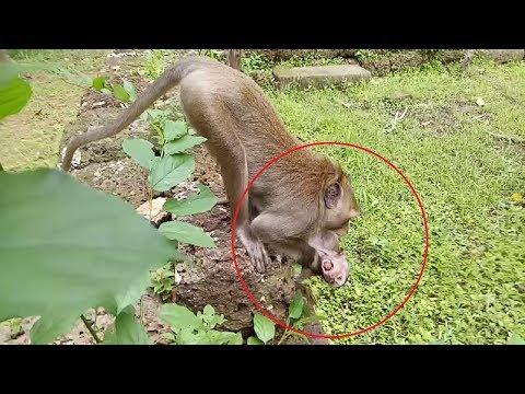 Big Monkey Bite Baby And Drag So Hard ( King Crying )ST689 Mono Monkey