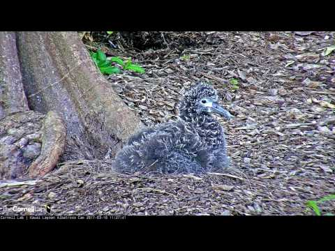 Q&A with Hob Osterlund on the Laysan Albatross Cam – Mar. 10, 2017