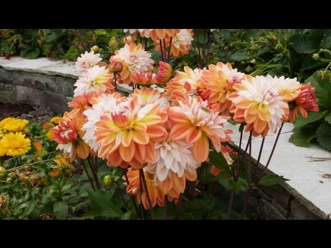 a quirk on growing dahlias from cuttings coupe de soleil. Black Bedroom Furniture Sets. Home Design Ideas