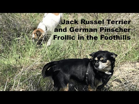 Jack Russell Terrier and German Pinscher Frolic in the Foothills.